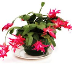 How To Get The Best From Your Christmas Cactus