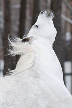 white stallion #horse #animal