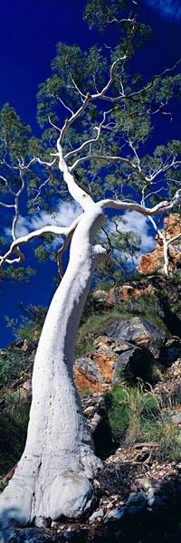 Ghost Gum Tree. Majestic Beauty