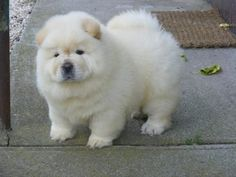 Pictures of  chow chow puppies ready to go