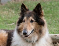 Merry is an adoptable Collie Dog in Houston, TX. Merry is a very sweet, beautiful, and intelligent seven year old dog.  She was found wandering the streets and given to HCR by a local shelter.  Merry ...