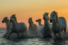 Camarque horses by Pavel Blažek on 500px