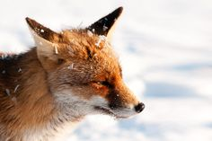 Fox, Snow  And Ice by Rob Janné