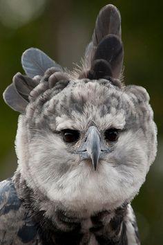 Harpy Eagle !