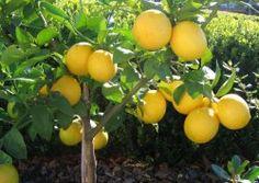 Growing citrus trees in your garden