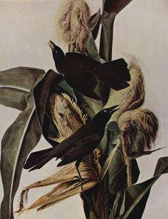 raven, john jame, crow, art bird, blackbird, jame audubon, audobon, birds, bird print