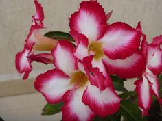 Rosa do Deserto em 30/08/2001 Marilia SP
