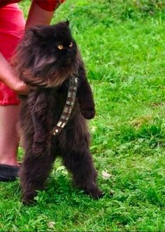 Cat dressed up as Chewbacca *___*