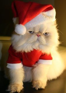 One mad kitty funny animals, santa clause, grumpy kitty, funny christmas, santa baby, white christmas, christmas outfits, grumpy cats, the holiday