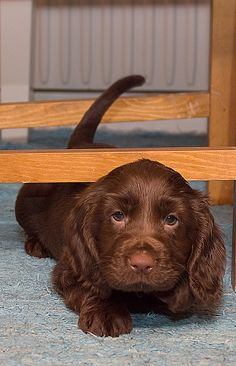 field spaniel puppy...hoping to be a house spaniel puppy