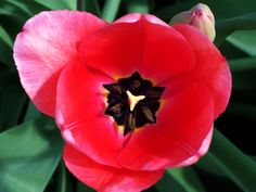 "Nancy Krakauer photographed the inner beauty of one the tulips that spring up every March in her backyard in Pleasanton. ""I planted the bulbs about 10 years ago and they keep returning, like an old friend, year after year, providing a colorful welcome to the new season,"" she says."