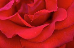 American Beauty  Flickr - JAS_photo Oregon, USA