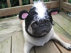 I want a pug...in a hat...
