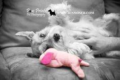 Miniature Schnauzer by Paw Prints Pet Photography