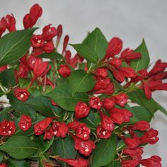 Weigela 'Slingco1′, trade name All Summer Red was bred by Bert Verhoef from Boskoop (Netherlands). The objective of his breeding program was to develop new Weigela cultivars with a shorter overall height and attractive red flowers
