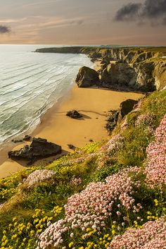 Pink Wild flowers, Bedruthan Stepps, Cornwall, England, UK