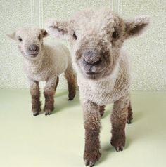 sheeps!