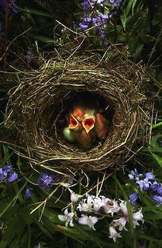 baby blackbirds awaiting their feeding