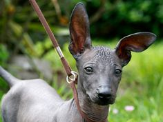 Peruvian Inca Hairless Dog
