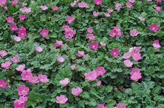 Erodium Charm Alpine Geranium.  Grows in moist shade, ground cover in clumps
