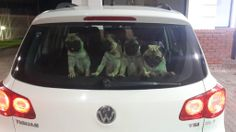 Jean Visser's pic of #pugs at the rear #windhield of a #Volkswagen #VW #Tiguan. Taken in #Upington.