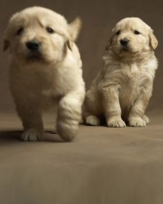 so cute.. golden retriever puppies!