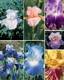 Reblooming Irises - expensive though!