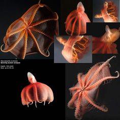 Killer Vampire squid from hellVampire Squid From Hell