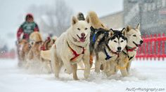 Dog Sled Races in Ft. Kent Maine.    Paul Cyr Photography:  http://www.crownofmaine.com/paulcyr/olympus-daily-photos/