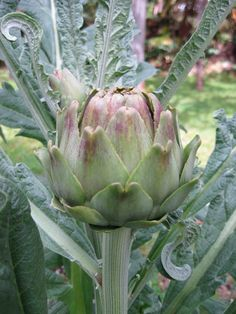 How to grow Artichoke