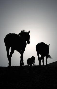 equine photography, silhouett, horse pics, anim, poni