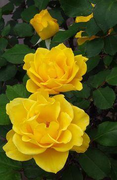 Henry Fonda Roses