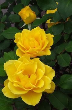 Henry Fonda Roses ~ Magnificent!