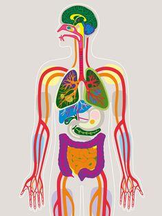COLOR - Cuerpo Humano - más imágenes #salud y #farmacia en http://pinterest.com/farmagestion/