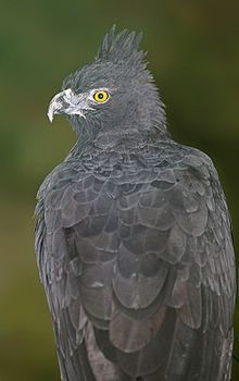 Black-and-chestnut Eagle - Wikipedia, the free encyclopedia