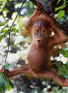 Google Image Result for http://hellovegetables.com/wp-content/uploads/2008/10/baby-orangutan.jpg