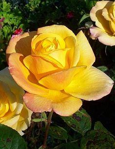 Gold Medal Rose by brcotte2007