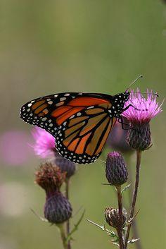 Monarch <3