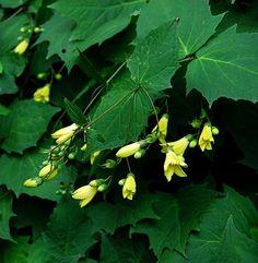 Kirengeshoma palmata  ---  Yellow Waxbells. Also beautiful as a spray of cut flowers. z. 5-9