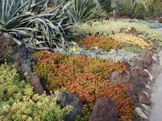 Succulent ground cover in colors, Huntington Library Desert Garden, 0226