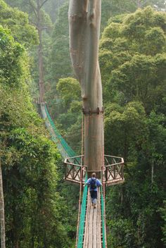 Danum Valley Canopy Walkway, Malaysia  ::  300-meter-long (985 ft) and 27-meter-high (90 ft) canopy walkway  ::  This amazing canopy walk is one of the best in the world where you explore the canopy of the forest reserve in Danum, Sabah, Borneo. bucket list, canopi walkway, walkways, borneo rainforest, rainforest canopi, travel, place, rainforests, canopies