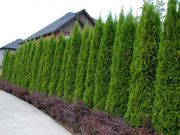 Thuja Green Giant - Fast growing Hedge Plant,grows over 3' per year & is a perfect hedge and privacy plant! Green Giant Arborvitae thrives with KnockOut Roses & Ornamental Grasses, Sedums.