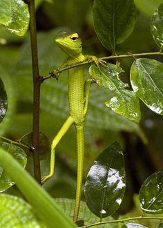 garden lizard, green garden, frogs and lizards, gardens, jungl, gym, susan yeoman, rainforest, honey