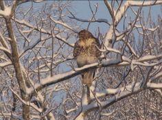 Red Tailed Hawk tail hawk