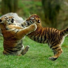 Tiger cubs play like kittens