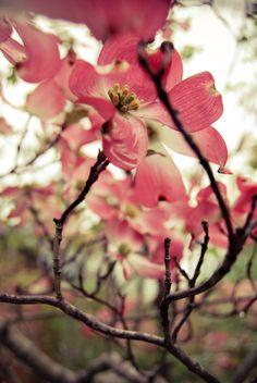 beautiful dogwood blossoms