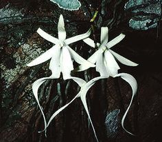 Since the ghost orchid's roots blend so well with the tree bark, the striking white flower looks as if it is suspended in midair.Learn More about what keeps this species in existence.     #Orchid     http://www.uhaul.com/supergraphics/states/florida/orchid/natural-wonder.html