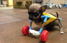 This Two-Legged Chihuahua Puppy With Toy Wheels May Be the Most Adorable Dog Ever - Pet360 Pet Parenting Simplified
