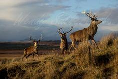 Wild highland Deer - Photo courtesy of Wendy Sutherland
