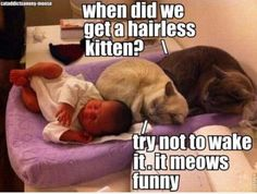 So funny - hairless kitten meme. funny animals, cat quotes, funny animal pictures, funny pictures, funni, baby kittens, hairless cats, funny puppies, meme